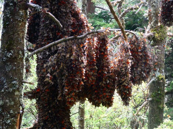 Monarchs clustered at Cerro Pelon Sanctuary.
