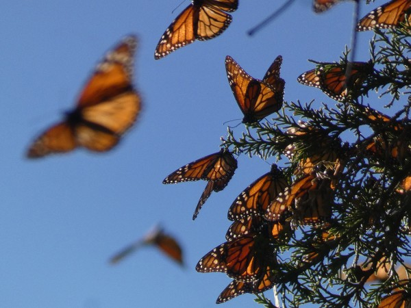 Monarchs at El Llano, Cerro Pellon Sanctuary.
