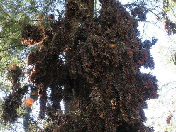 Clusters of monarchs at El Rosario.
