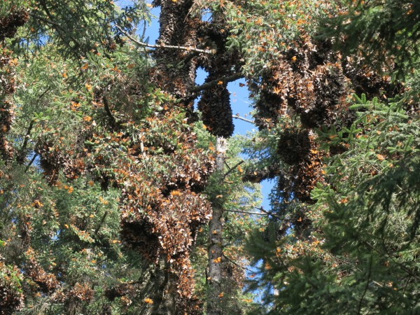Monarchs clustered at El Rosario.