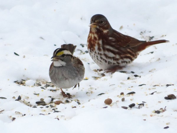 White-throated and Fox Sparrow.