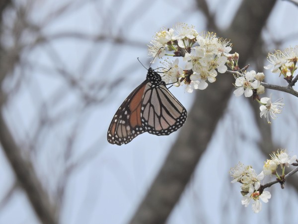 Monarch on plum tree.