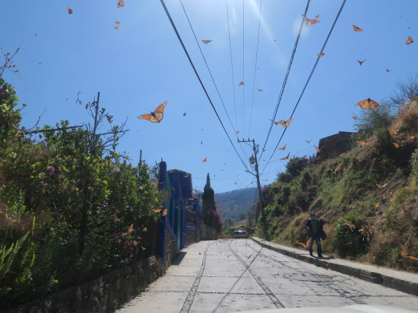 Monarchs leaving Sierra Chincua
