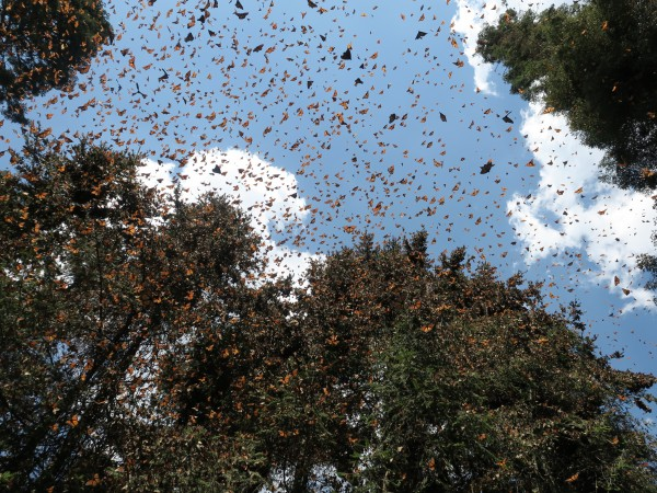 Monarchs flying at la salud