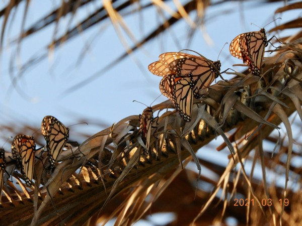 Monarchs roosting in Texas.