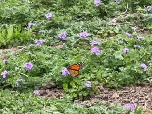 Monarch in Texas.