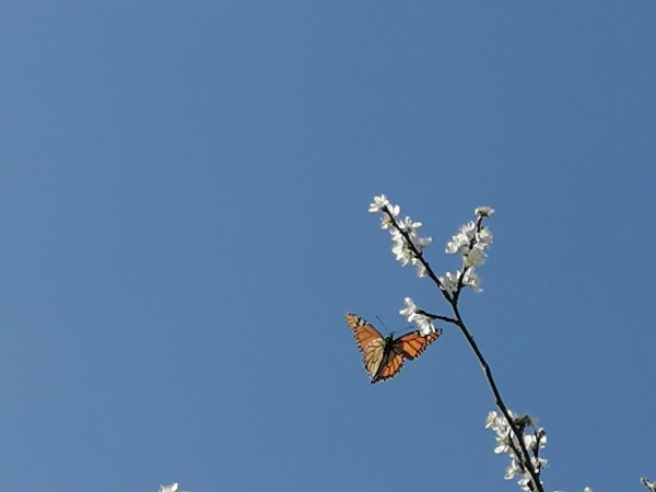 Monarch and plum tree