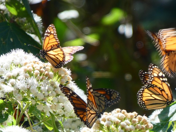 Monarchs nectaring on flowers.