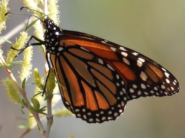 Monarch in New Mexico