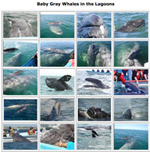 A photo gallery of baby gray whales!